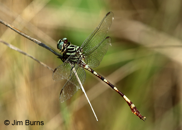 Broad-striped Forceptail male dorsolateral view, Travis Co., TX, August 2017