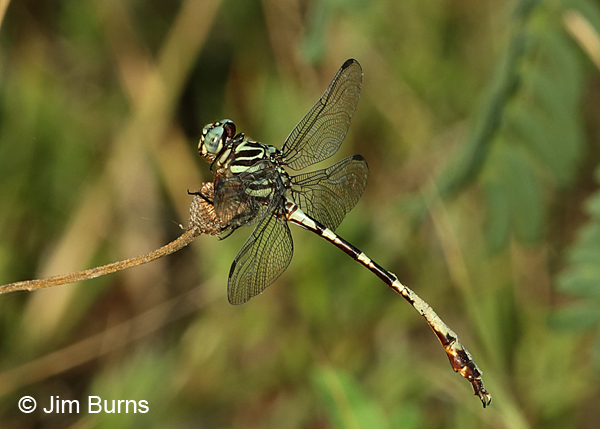 Broad-striped Forceptail male with dirt on abdomen, Travis Co., TX, August 2017