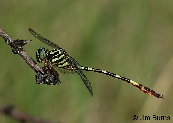 Broad-striped Forceptail male, Kinney Co., TX, August 2017
