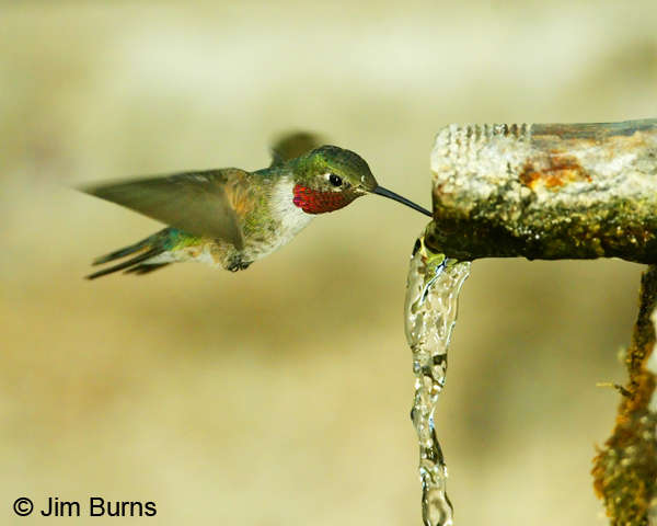 Broad-tailed Hummingbird male drinking at spring