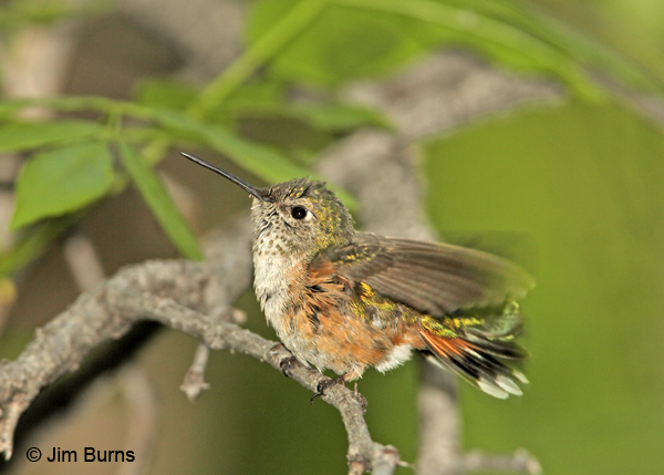 Broad-tailed Hummingbird female preening after bath