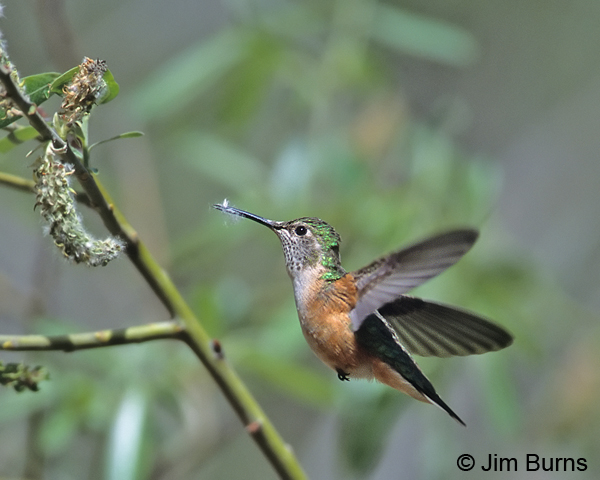 Broad-tailed Hummingbird female