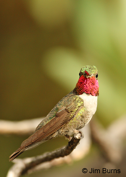 Broad-tailed Hummingbird male perched