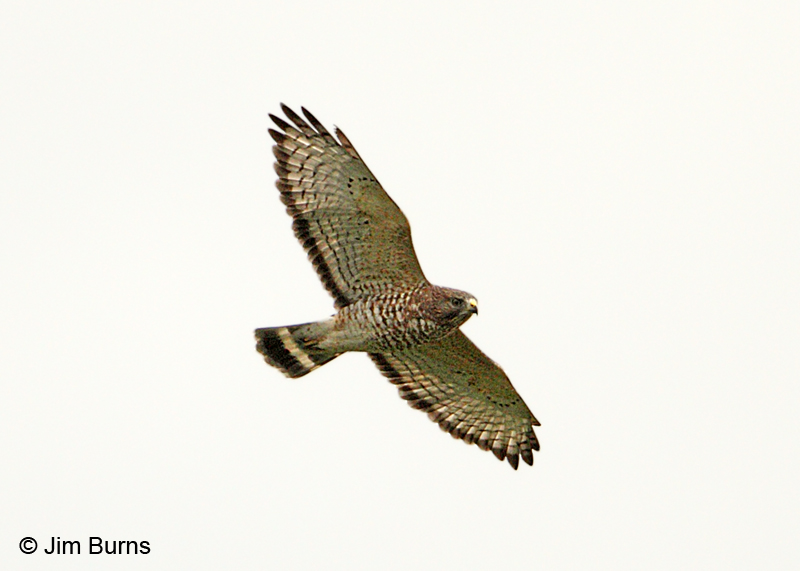Broad-winged Hawk adult in flight #2