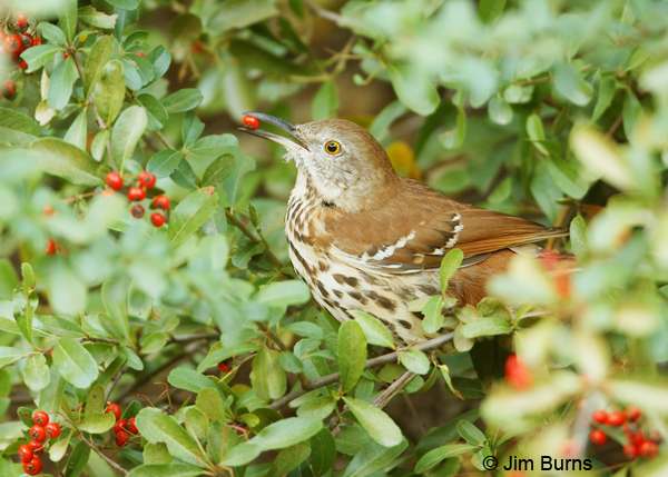 Brown Thrasher in Pyracantha
