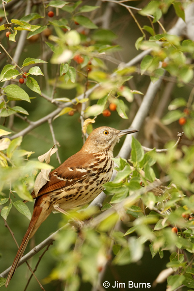 Brown Thrasher ventral view