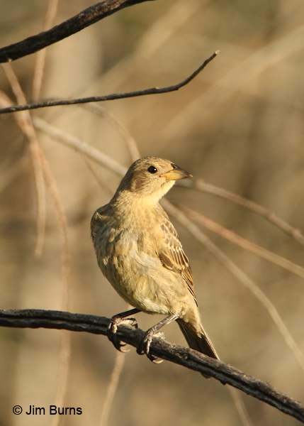 Brown-headed Cowbird juvenile