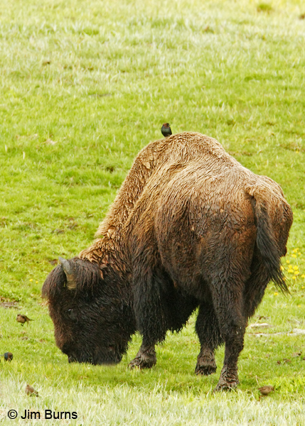 Brown-headed Cowbirds with bison