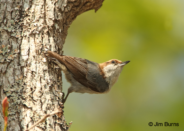 Brown-headed Nuthatch in traditional pose