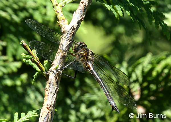 Brush-tipped Emerald female, Door Co., WI, July 2017