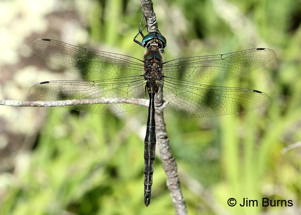 Brush-tipped Emerald male dorsal view, Door Co., WI, July 2017