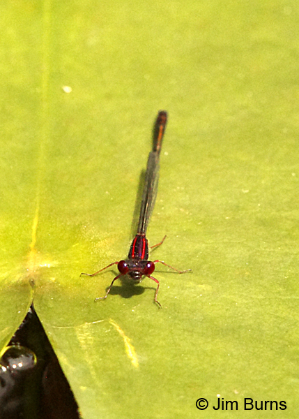 Burgundy Bluet male dorsal view, Chesterfield Co., SC, May 2014