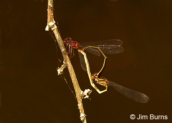 Burgundy Bluet pair in wheel, Chesterfield Co., SC, May 2014