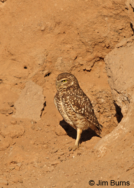 Burrowing Owl at home on canal bank