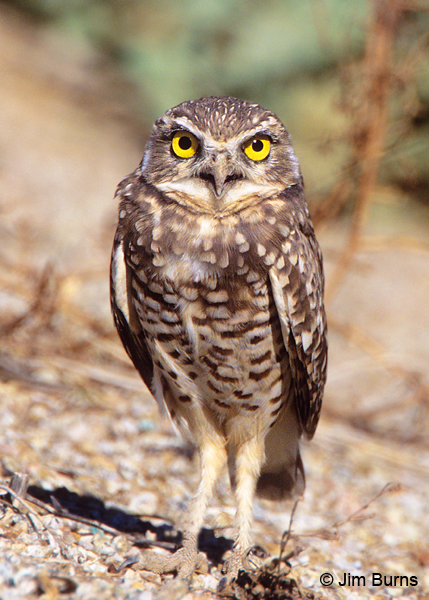Burrowing Owl headlights