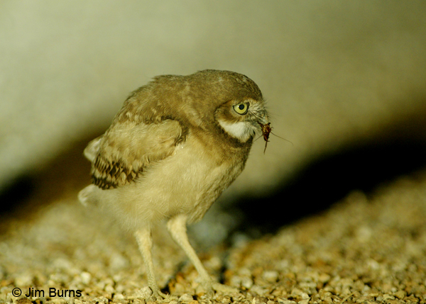 Burrowing Owl juvenile with roach