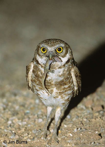 Burrowing Owl with gecko