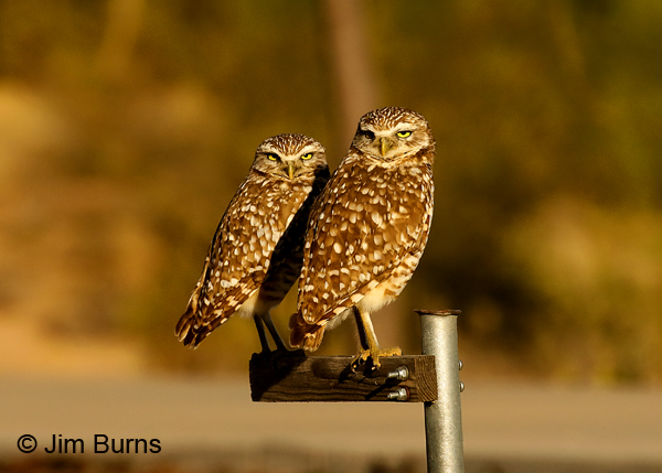 Burrowing Owls 7352, Burrowing owl is the only owl species that does not exhibit reversed sexual size dimorphism; that's the male on the right