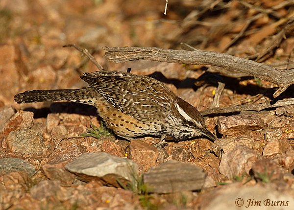 Cactus Wren turning stones gleaning for insects--1174