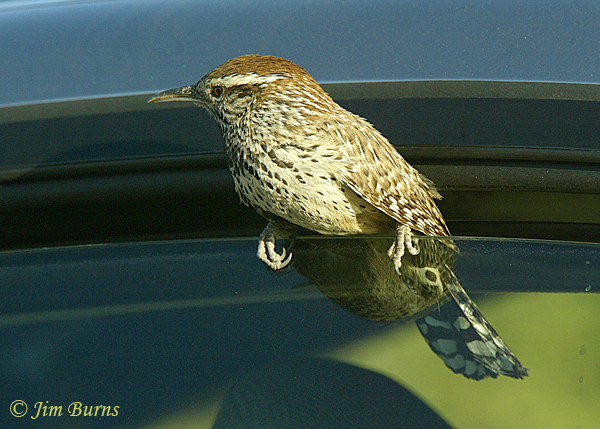 Cactus Wren emerging from vehicle interior investigation--5417