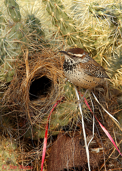 Cactus Wren nest decorations--O4127
