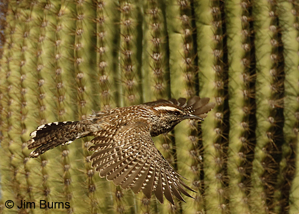 Cactus Wren in flight dorsal view 6956