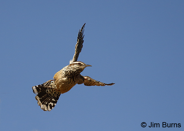 Cactus Wren in flight #3 6964