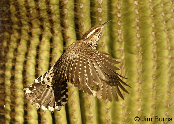 Cactus Wren flying in Saguaros 7014