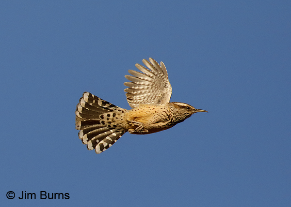 Cactus Wren in flight #2  7495