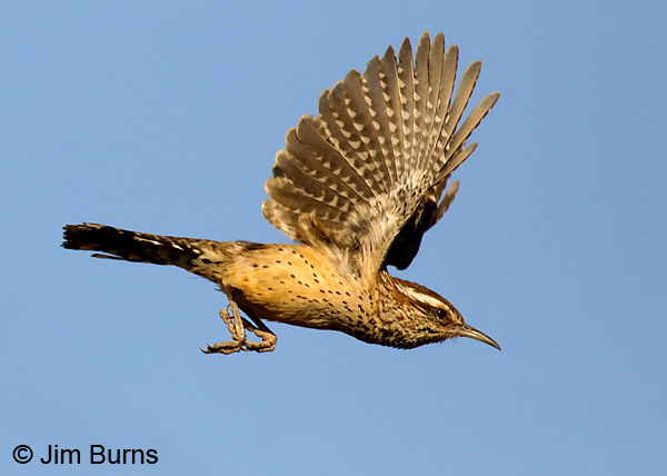 Cactus Wren in flight 7496