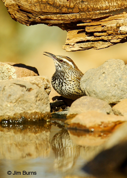 Cactus Wren at waterhole