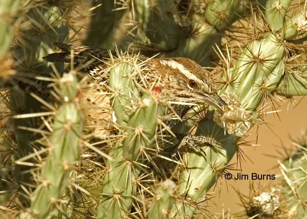 Cactus Wren carrying snakeskin for nesting material