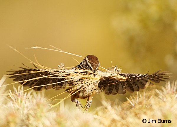 Cactus Wren carrying nesting material