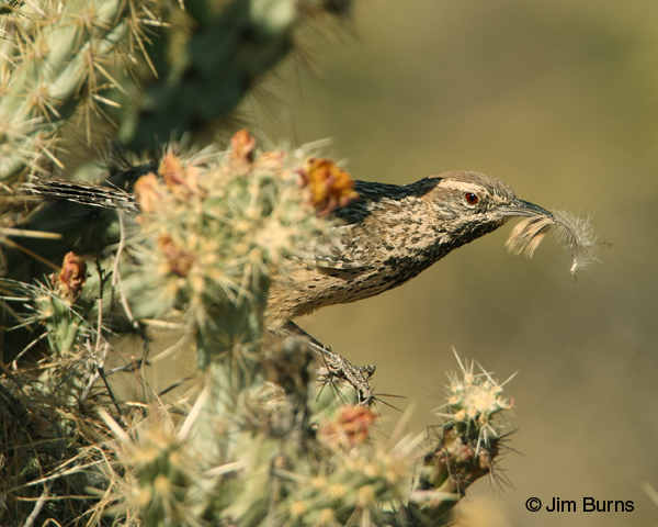 Cactus Wren removing feathers from nest