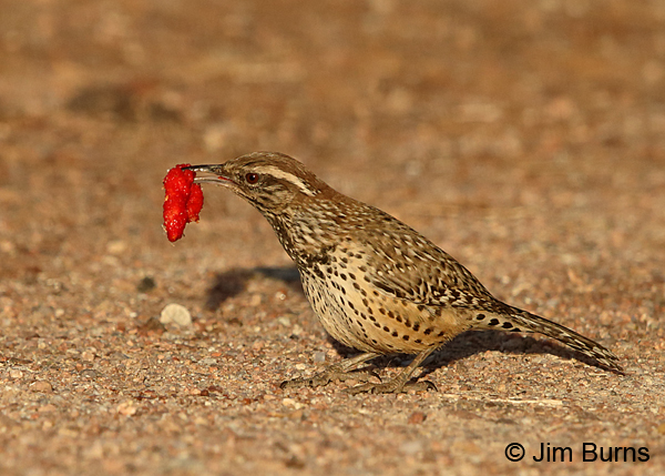 Cactus Wren with picnic leftovers