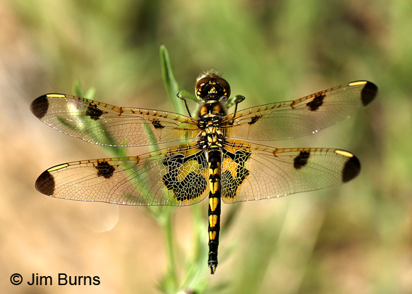 Calico Pennant female, Door Co., WI, July 2017