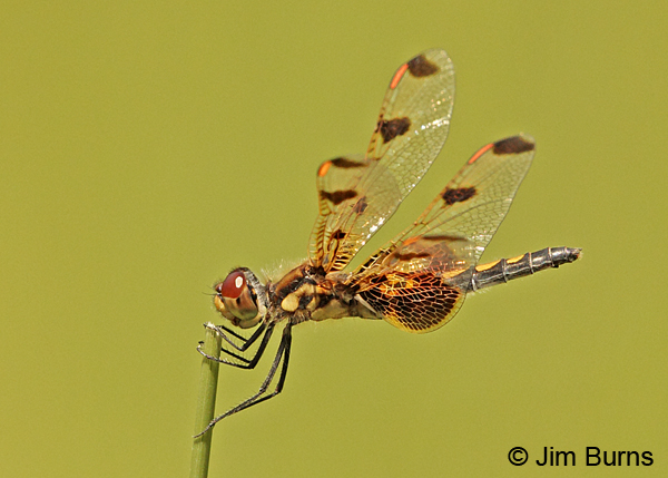 Calico Pennant female, Penobscot Co., ME, July 2014