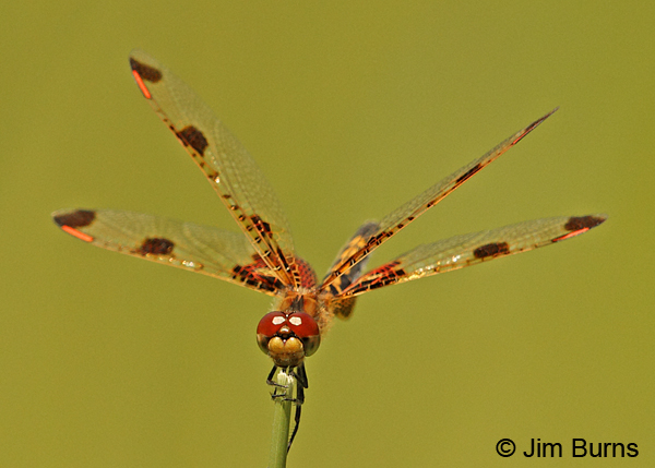 Calico Pennant female face shot, Penobscot Co., ME, July 2014