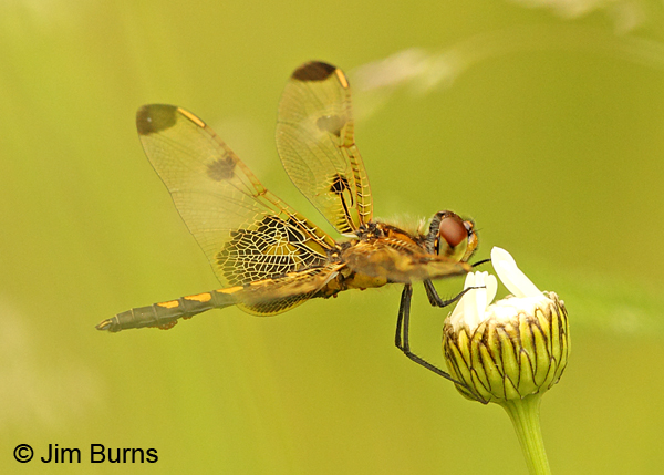 Calico Pennant immature male with water mites, Sawyer Co., WI, June 2014