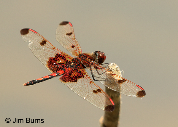 Calico Pennant male, Mecklenburg Co., NC, May 2017