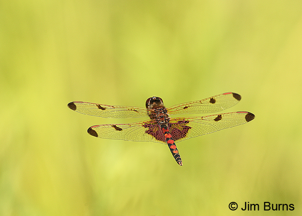 Calico Pennant male in flight, Centre Co., PA, June 2015
