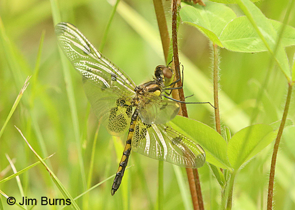 Calico Pennant teneral male, Huntingdon Co., PA, June 2015