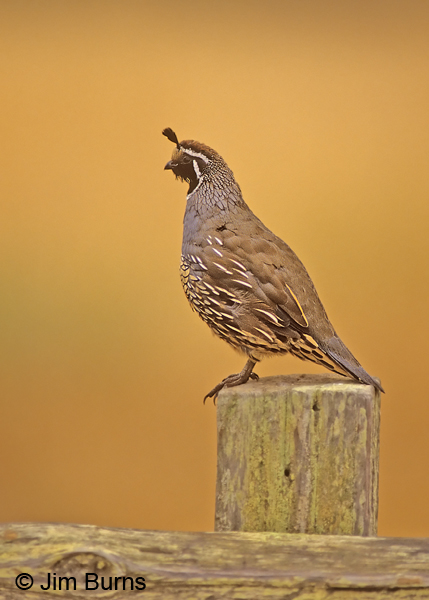 California Quail male