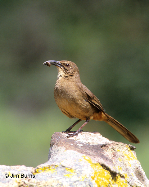 California Thrasher with worm