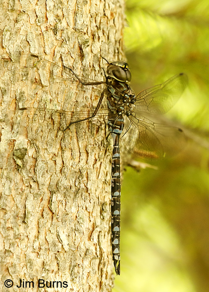 Canada Darner male, Lake Co., MN, July 2018--9812