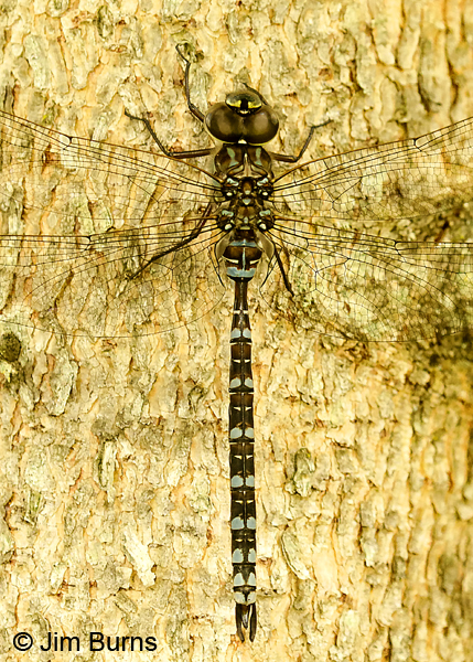 Canada Darner male dorsal view, Lake Co., MN, July 2018--9814