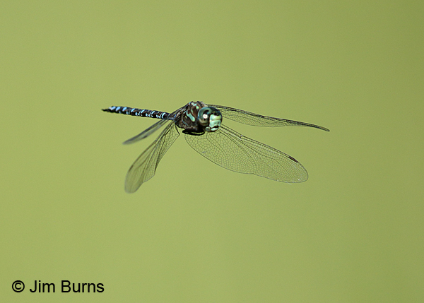 Canada Darner andromorph female in flight, Door Co., WI, July 2017