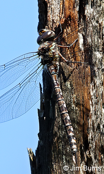 Canada Darner andromorph female, Door Co., WI, July 2017