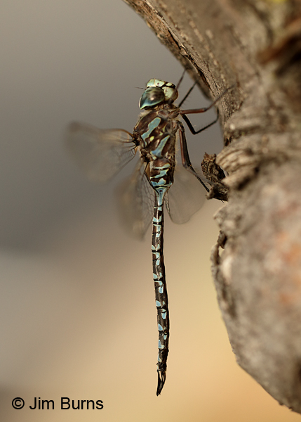 Canada Darner blue male, Washington Co., MN, September 2016
