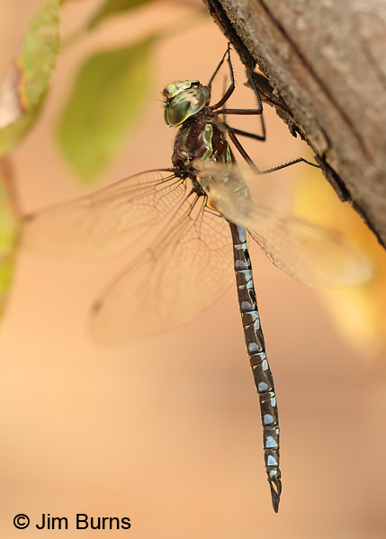 Canada Darner green male, Washington Co., MN, September 2016